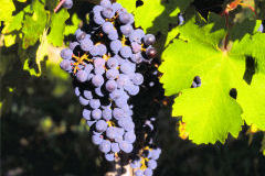 All on Grape variety Cabernet